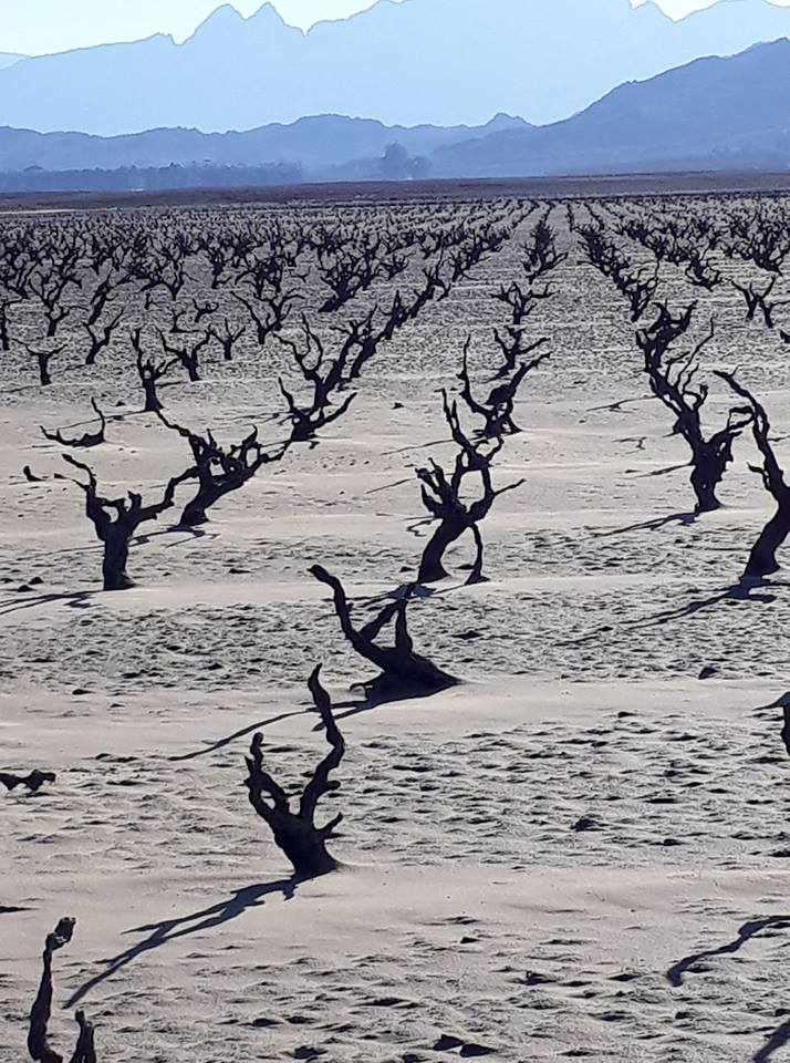 Old Vineyards Resurface As Dams Run Dry In Western Cape